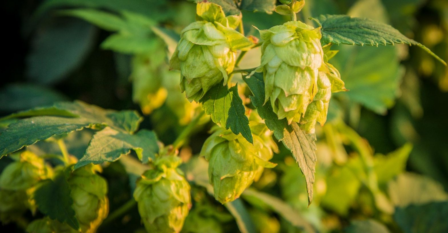 Tips to Prepare your Hops for Winter